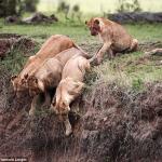 Львица спасает своего малыша, застрявшего на обрыве