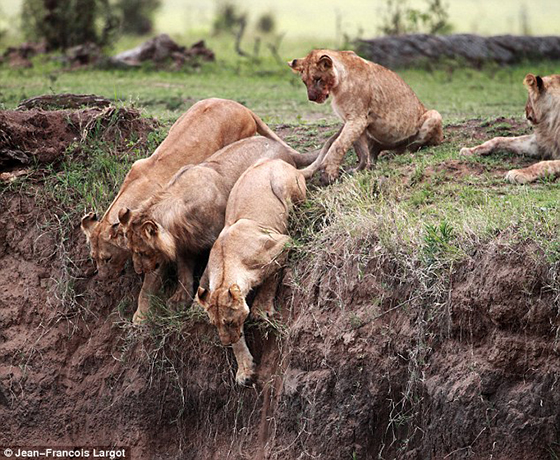 львица спасает львенка