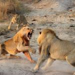 Две львицы вступились за молодого льва
