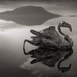 Смертоносное африканское озеро превращает птиц в статуи