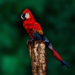 Этот попугай на самом деле — человек!
