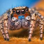Макросъёмка: милые пауки-скакунчики, которых хочется обнять