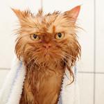 22 забавных фотографии мокрых кошек