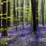 Таинственный лес в Бельгии, устланный ковром из колокольчика