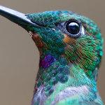 20 фотографий колибри крупным планом, обличающих их неземную красоту
