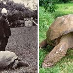 Фото черепахи Джонатана, сделанные в 1902 году и сегодня