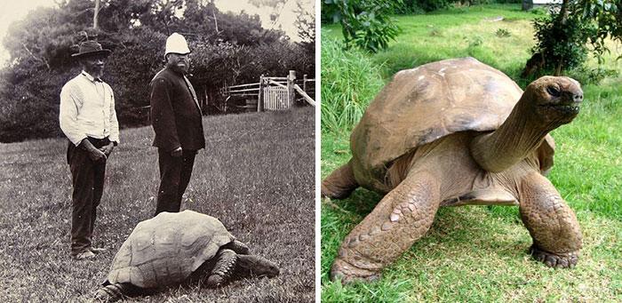 182-летная Черепаха Джонатан с острова Святой Елены