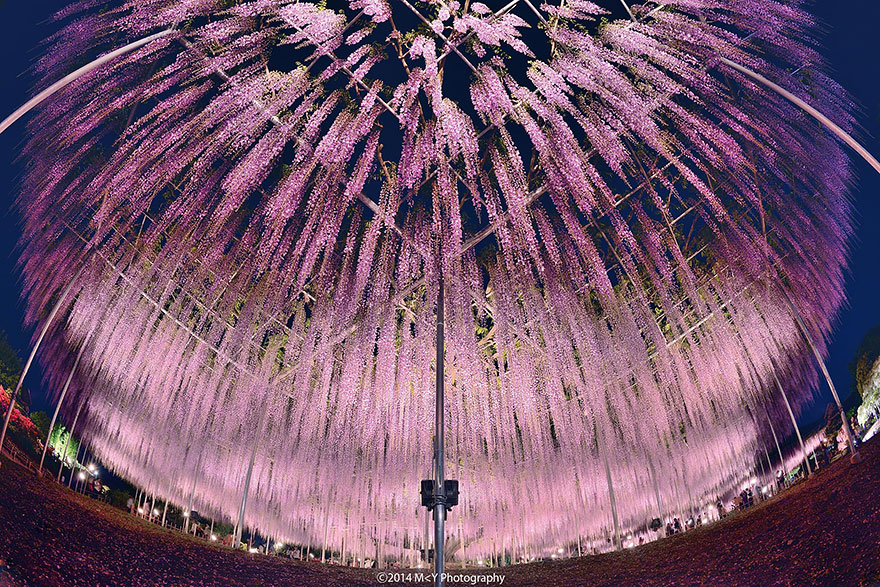 144-летняя глициния, растущая в Японии - настоящее воплощение розового неба